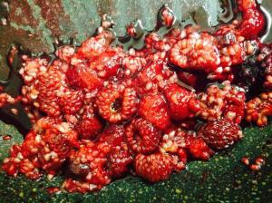 Stewed raspberries in a saucepan on the stovetop.